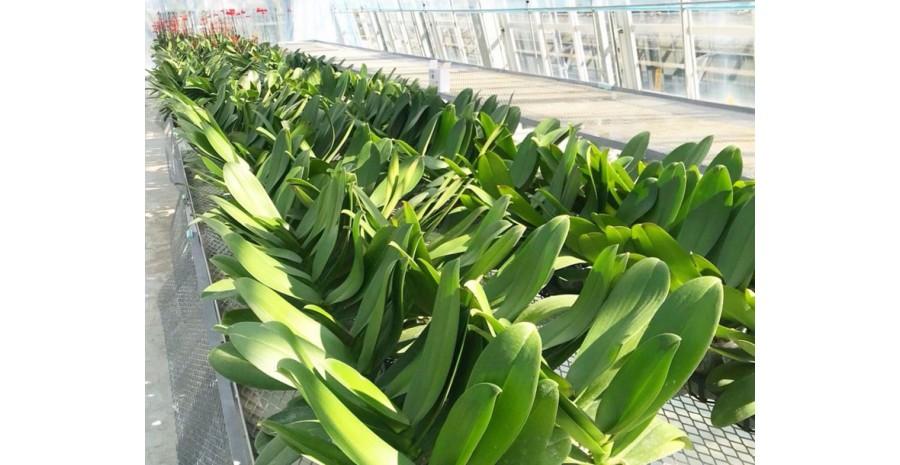 Tấm lợp lấy sáng nhà kính trồng hoa phong lan cao cấp